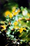 Flor del Calafate